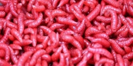 Musės lervos raudonos